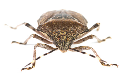 The bed bug has become increasingly resistant to conventional pesticides.