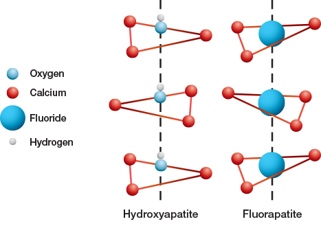 Fluoride ions (F–) replace hydroxyl groups (OH–) in hydroxyapatite to form fluorapatite in the tooth enamel. A portion of the apatite crystal lattice is depicted showing the replacement of hydroxide for fluoride.